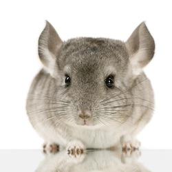 clinique v t rinaire avignon la castration des lapins cochon d inde et chinchilla. Black Bedroom Furniture Sets. Home Design Ideas