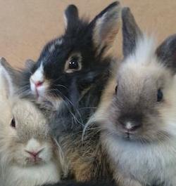 3-lapins