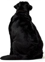 chien-surpoids